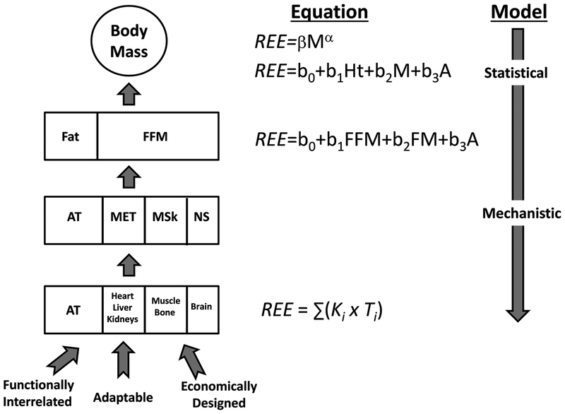 The anatomy of resting energy expenditure: body composition mechanisms